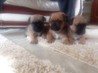 Jug puppies 1 girl 2 boys