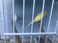 A pair of waterslager canary