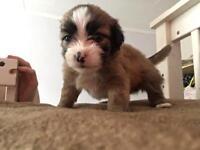 Beautiful shih tzu x pomchi puppies
