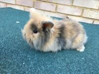 Liops and mini lops for sale