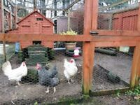 3 Hens & coop for free East Kilbride - buyer collect 07377211967