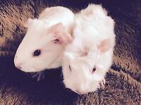 Baby boy Guinea pigs