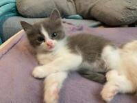 Gorgeous X-Ragdoll Kittens READY NOW