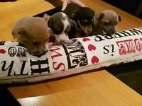 Jackahuahua Pups