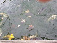 KOI CARP AND OTHER FISH