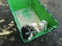 Pompoos puppys