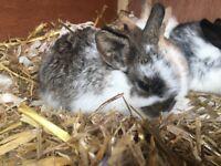 Dwarf lop ear rabbits