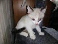 Snowshoe Kittens - Male