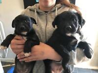 Beautiful Cross Pups