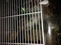 2 dawft hamsters