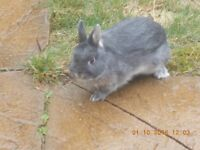 pure breed netherland dwarf rabbit