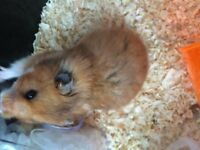 FREE Hamster inc Cage, food, exercise equipment!!!!