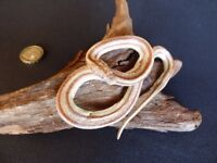 TAXIDERMY small Rat Snake. REPTILE No. 35 Wood is 15cm long.