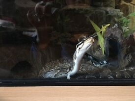 Male royal python and vivarium ****SOLD SOLD****