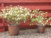 Two large glazed plant pots