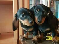 Miniature Mini Dachshunds Puppies