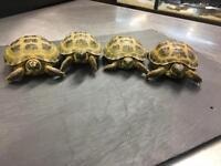 Horsefeild Tortoises