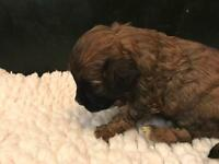 Cavapoo puppies, mixed colours, mum cavalier