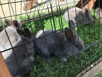 Grey Lion Head Baby Rabbit's