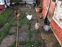 VARIOUSLAYING HENS CHICKENS BIRDS FOR SALE