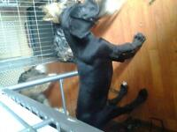 great dane male puppy for sale