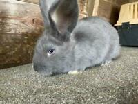 Giant Rex cross French Lop