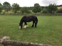 14.2 hh genuine cob mare for sale
