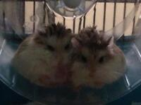 Rovbo hamsters