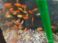 Platy peaceful community tropical fish