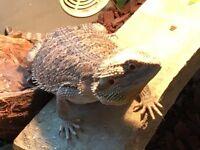 Bearded dragon and vivarium for sale