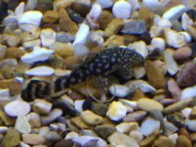 Tropical fish - Ancistrus (dwarf algae eaters)
