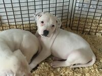American bulldog pups X1 girl (last one)
