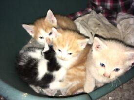 Siamese X Kittens