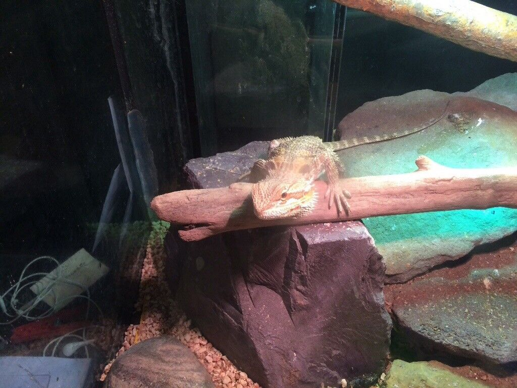 1 year old bearded dragon and whole set up for sale heat mat l& uv light all in 1 light largetank & 1 year old bearded dragon and whole set up for sale heat mat lamp ... azcodes.com