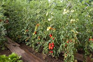 Sostegni-tutori-a-spirale-modello-PROFESSIONALE-pomodori-piante-rampicanti