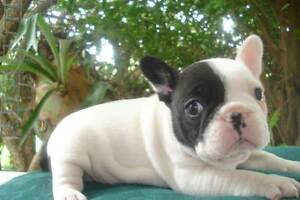 French Bulldog puppies (Imported Czechoslovakian/Russian lines) Adelaide CBD Adelaide City Preview