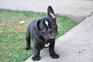French Bulldog Puppies Cedar Vale Logan Area Preview