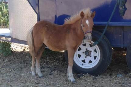 Sweet Little Miniature Horse Colt