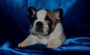 French Bulldog Puppies Cedar Vale Logan Area Preview