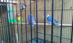 Lovebird Black-masked blue Nerang Gold Coast West Preview