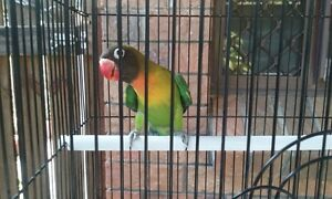 Lovebird Black-masked green Nerang Gold Coast West Preview