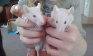 6 week old male rats Golden Beach Caloundra Area Preview