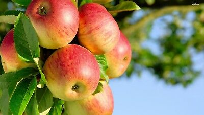- MacIntosh Apple type Fragrance oil Candle making crafts W free DROPPER