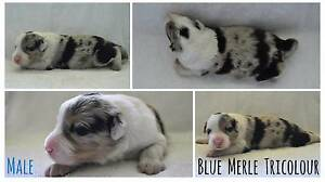 Purebred Border Collie Puppies, Registered with Pedigree Papers Beerwah Caloundra Area Preview
