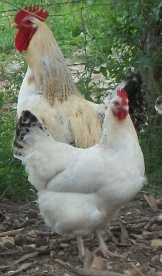 8 2 Delaware Giant Chicken Hatching Eggs For Your Incubator Dual Purpose