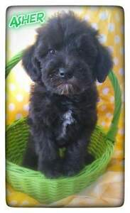 "MINI /STANDARD ""  Schnoodle""( just one left!)"