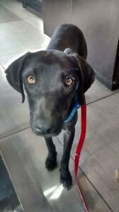 "Young Female Dog - Black Labrador Retriever: ""Flora"""