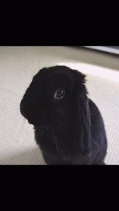 free black Holland lop bunny with cage