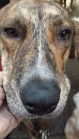 "Adult Male Dog - Great Dane: ""Todd"""