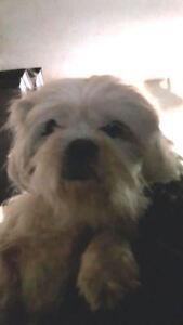 """Adult Male Dog - Pekingese: """"Ling-Pooh"""""""